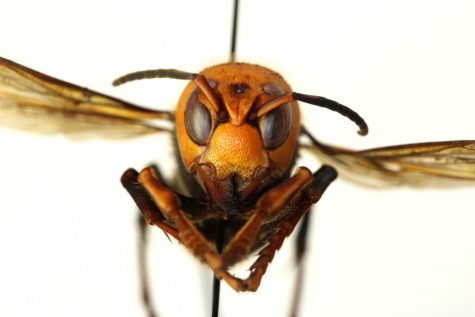 The Asian giant hornet, also known as Vespa mandarinia, has recently come to the United States. The hornet is recognizable by it's cartoonish scowl, with teardrop black eyes, and 'spiked shark fin' mandibles.